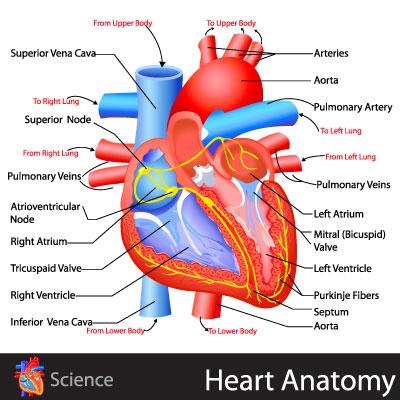 heart anatomy diagram