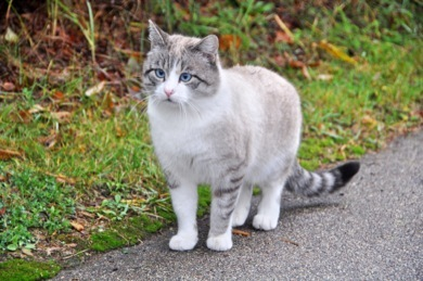 Goodpetparent FELV FIV Cat with blue eyes near the house