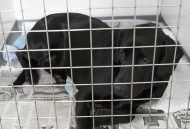 GoodPetParent canine parvovirus dog recovering in vet's kennels