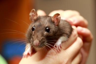 Friendly pet brown rat in human hand