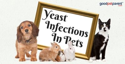 GoodPetParent feature image - Yeast Infections in Pets