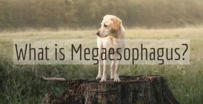 What is Megaesophagus Feature Image