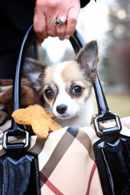 Carrying dog in purse