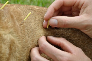Acupuncture for dogs with cancer