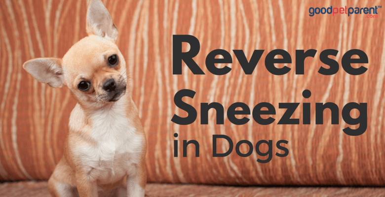dog cant stop sneezing