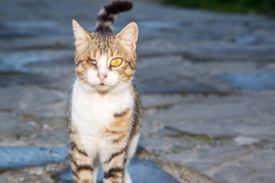 outside cat with eye injury