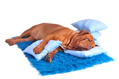 Dog on blanket with pillows
