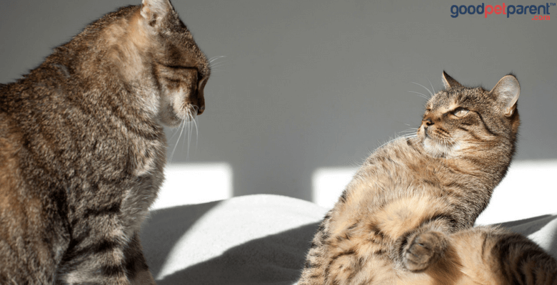 Non-Recognition Aggression Syndrome In Cats Feature Image