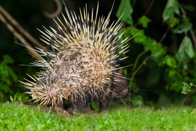 porcupine all quilled out