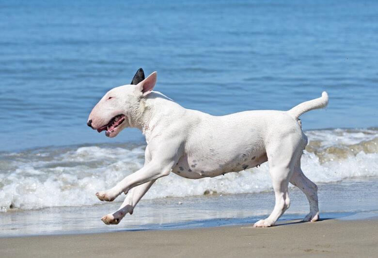 Bull Terrier on beach
