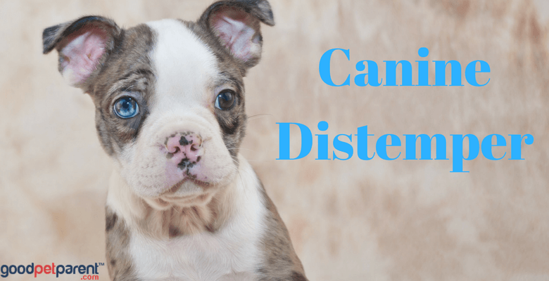 Canine Distemper Feature Image