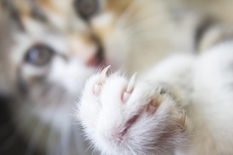 cat multi toe amputation