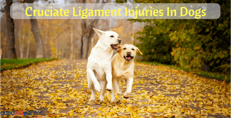 Cruciate Ligament Injuries In Dogs Feature Image