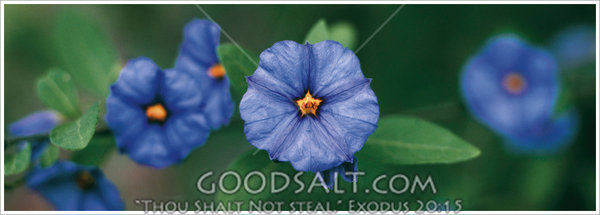 tiny blue flowers with