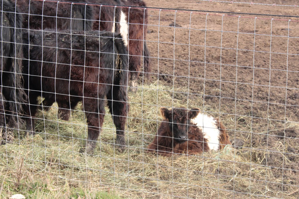 Our Gate To Your Plate Calf