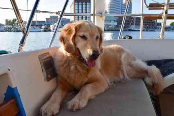 Honey the boat dog relaxes at anchor in the Hampton River.