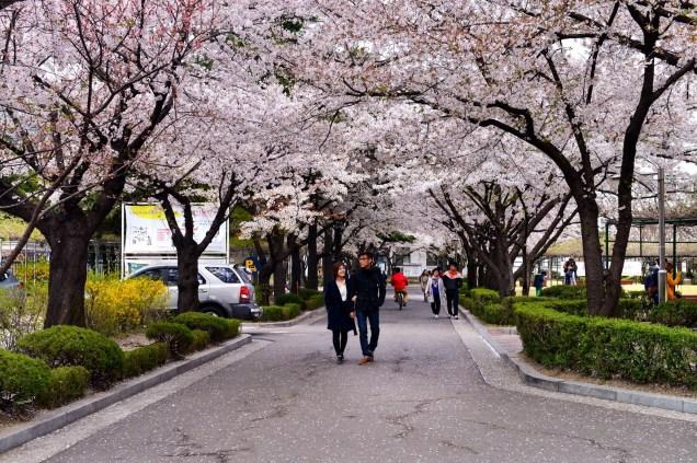 櫻花雨下漫步