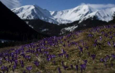 Польская долина крокусов. В Татрах тысячи туристов любуются весенним цветением. Фото