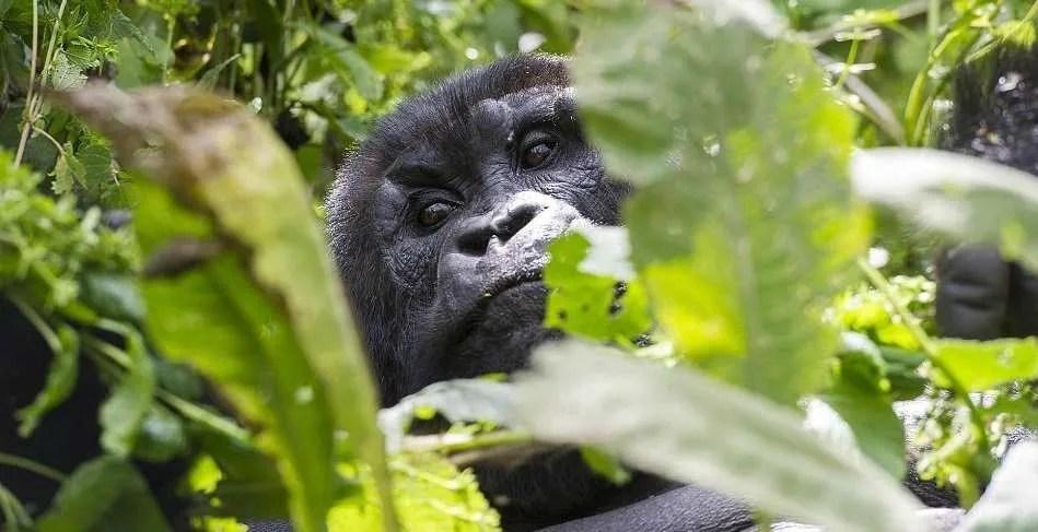 Bwindi_National_Park_Gorilla
