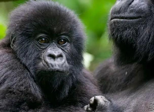 Rwanda_Gorilla