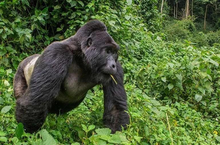Gorilla Trekking Safari - Gorilla Tracking guidelines