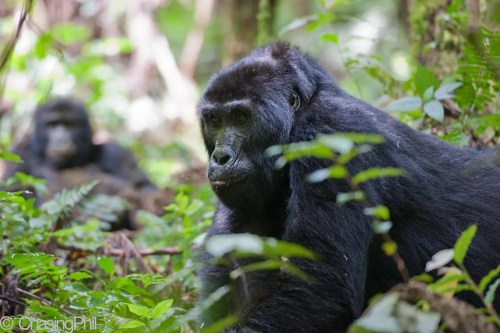 Uganda Gorillas, Chimps & Game Drive Safari
