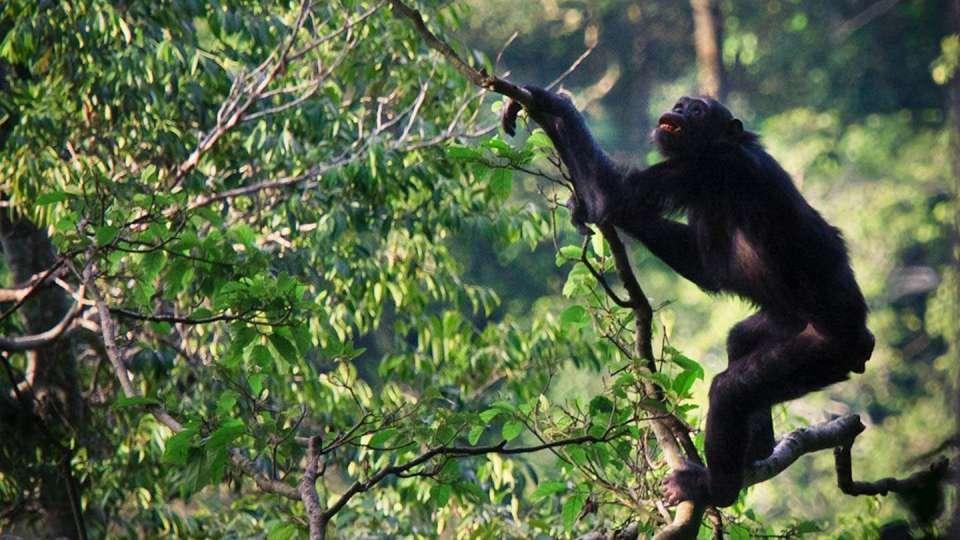 half day chimpanzee habituation experience in Uganda
