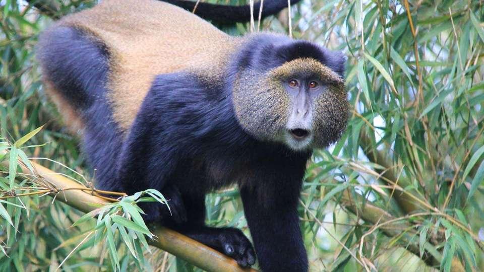 Golden Monkey Tracking and Habituation Experience in Mgahinga Uganda