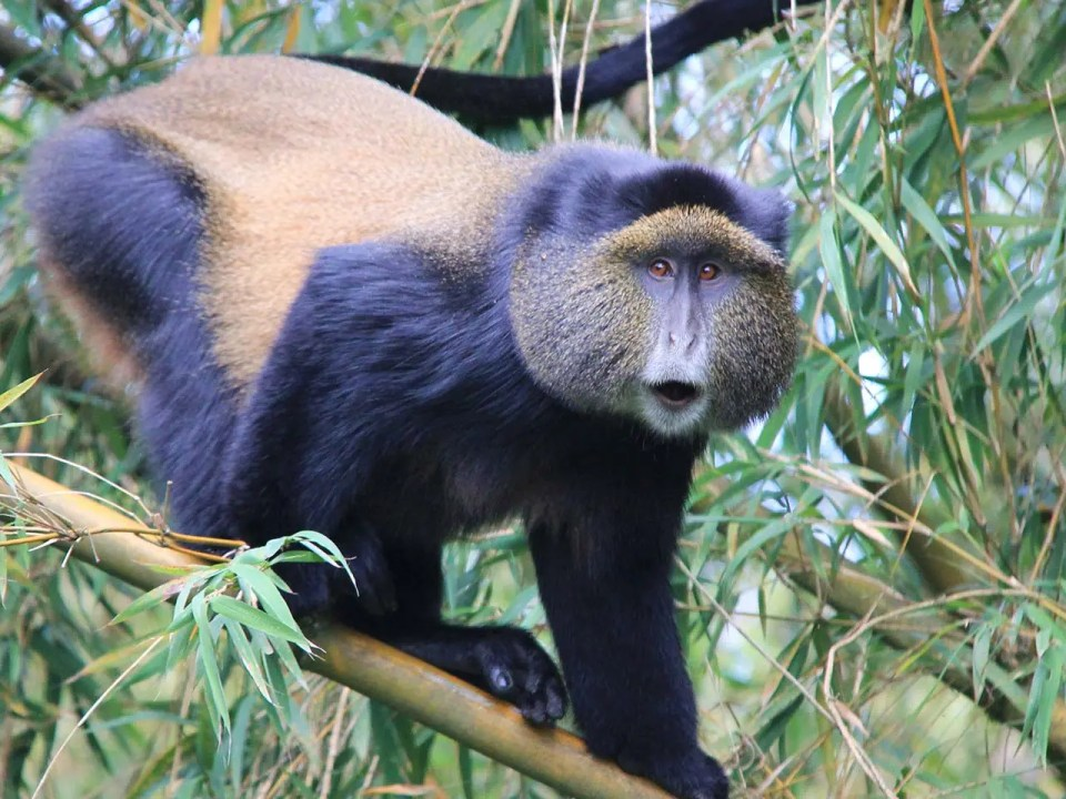 Golden Monkey Tracking and Habituation Experience in Mgahinga Uganda