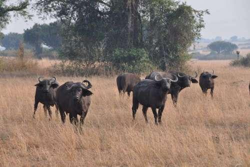 cape Buffalo - Africa Big Five Game Safaris