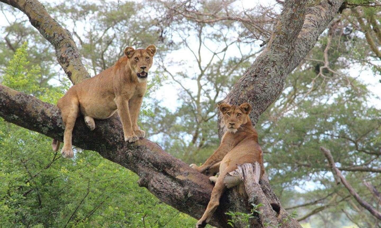 Queen Elizabeth National Park - Tree lions
