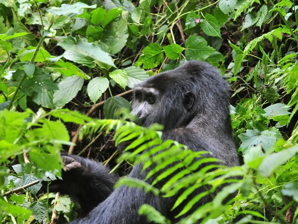 Mountain Gorilla Habituation in Uganda - 4 Day Gorilla Trekking and Wildlife Safari