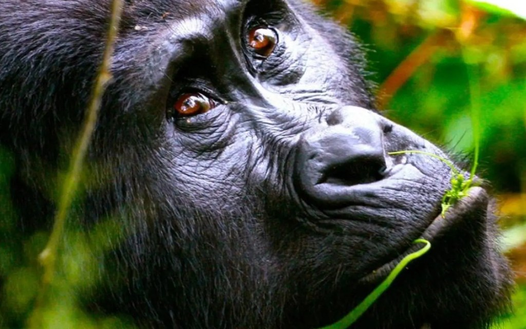 gorilla tracking information