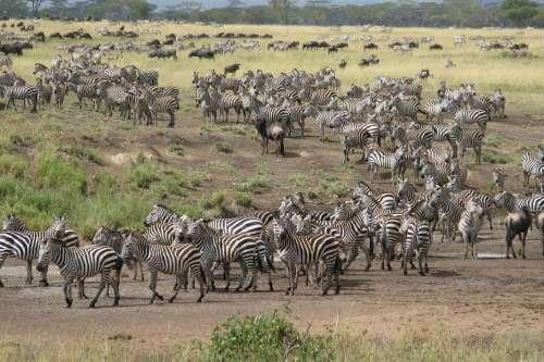 Wildebeest and Zebra Migration