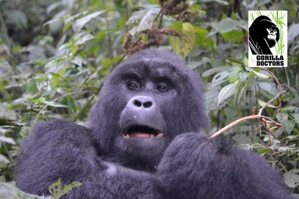 Two Kyagurilo Gorillas Injured in Altercation Between