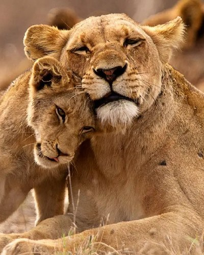 see-lions-in-uganda(1)