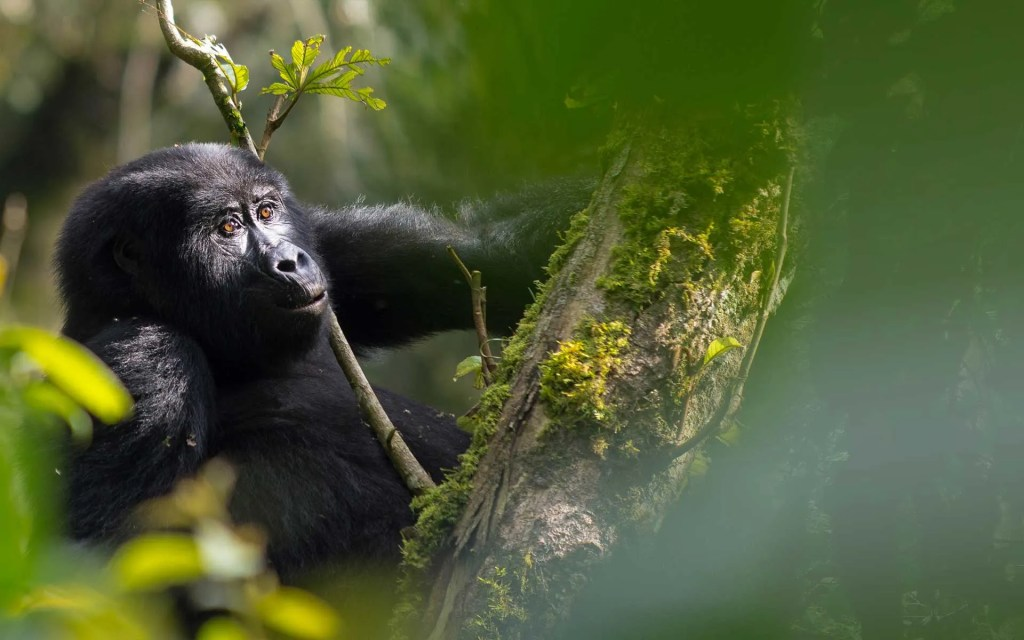 Rwanda Gorilla Trekking Safari in Bwindi Impenetrable Forest