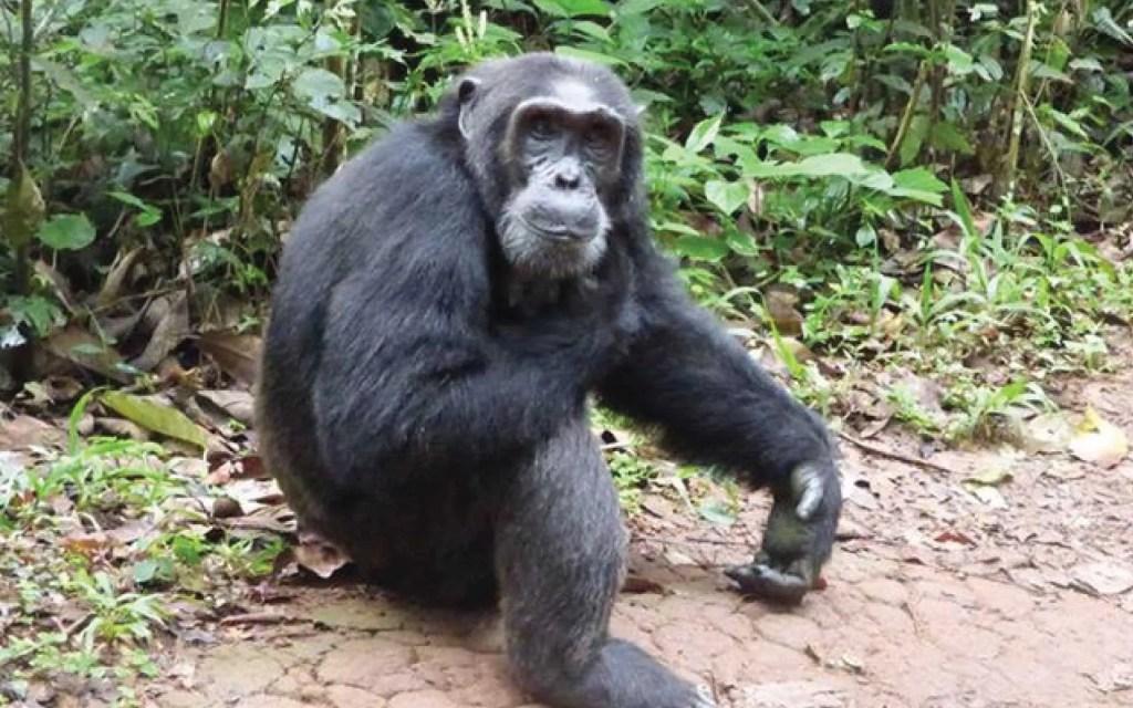 Rwanda Safari - Nyungwe Forest Experience Safari - Chimps