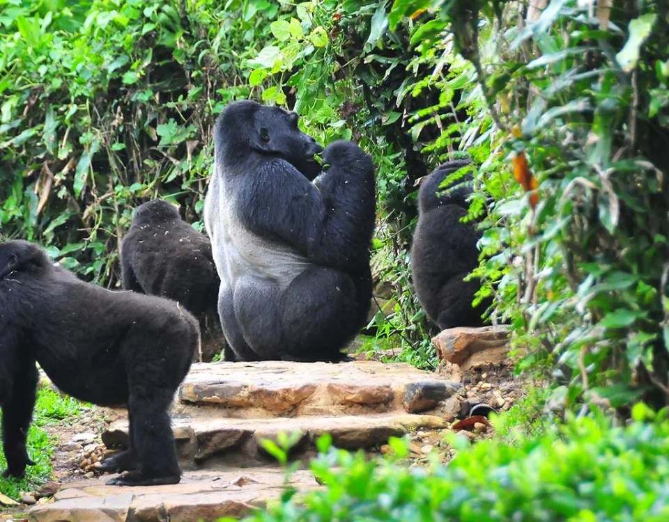 The Rushegura Gorilla Group