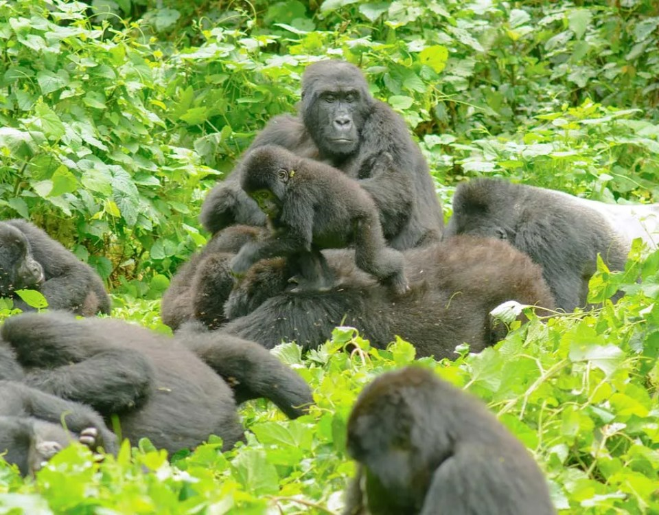 Habinyanja Gorilla Group (H_Group)