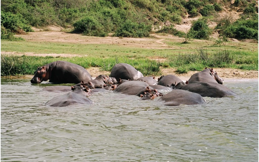Queen Elizabeth National Park Hippos