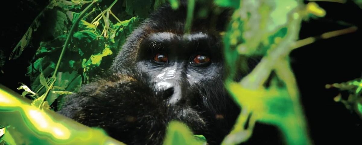 Rwanda Uganda Gorilla Tour - Silverback Ndahura of the Bitukura family