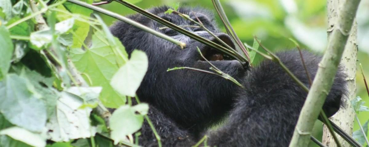 Nshongi Gorilla Group Bwindi
