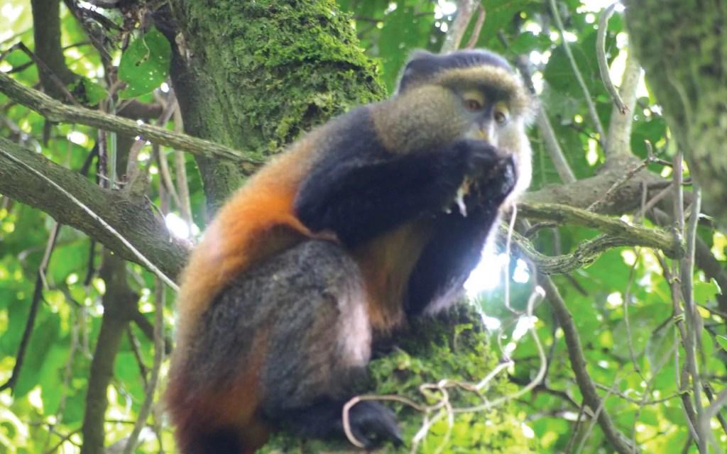 rwanda golden monkey safari