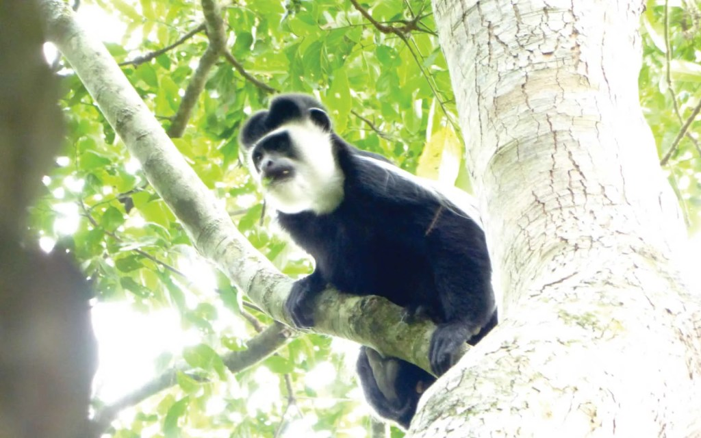 Semuliki National Park Hot Springs Monkey
