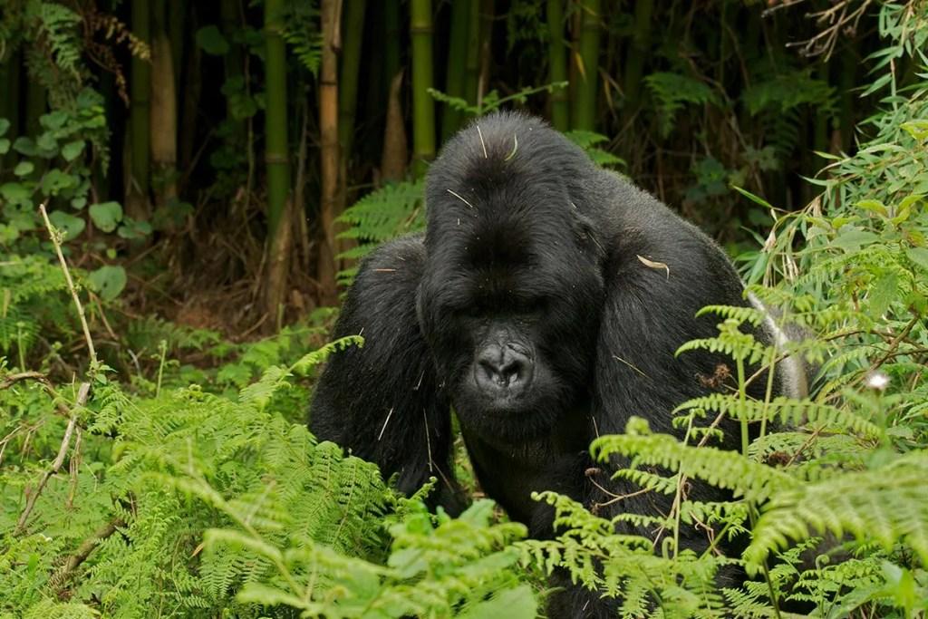 Uganda Gorillas and Chimpanzee Tour - Adventures To Gorilla Africa | Gorilla Trekking Safaris Experts Uganda