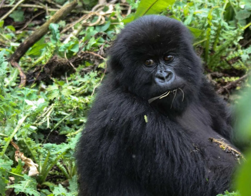 How trekking is protecting Rwanda's mountain gorillas
