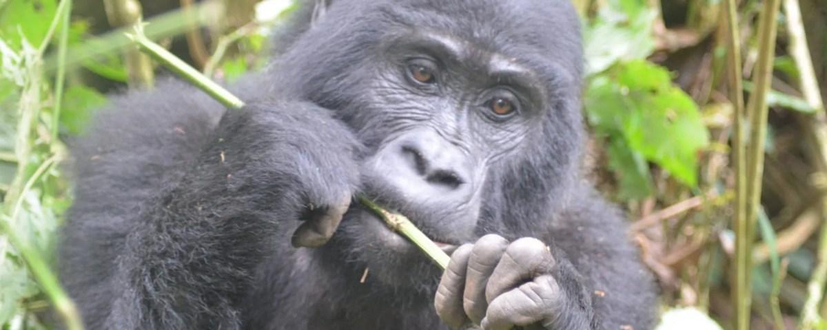 uganda gorilla trekking permit
