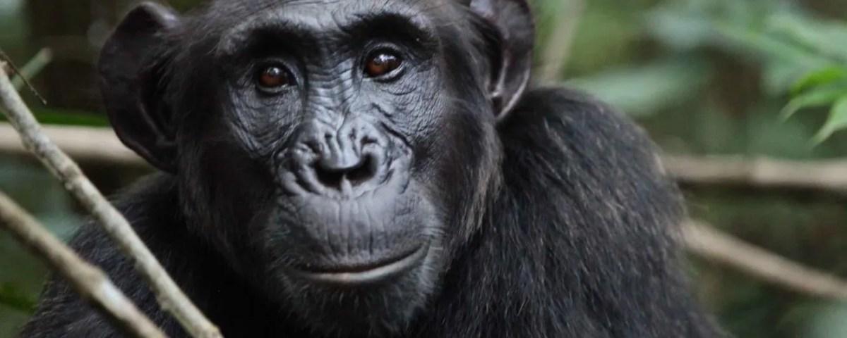 Chimpanzee Trekking in Uganda-Gorilla Safari Experts Uganda