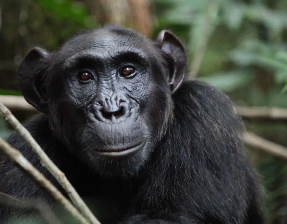 Chimpanzee Trekking in Uganda-Gorilla Safari Experts Uganda